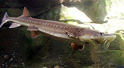 7. Sturgeon (245 to 208 million years)