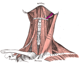 Stylohyoid muscle - Muscles of the neck. Anterior view. Stylohyoid muscle in purple