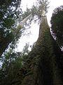 Styx giants, Tasmania.jpg