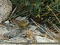 Sulphur-bellied Warbler (Phylloscopus griseolus) (20496797728).jpg