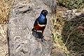 Superb Starling in the Serengeti National Park.jpg