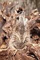 Suricata suricatta - Zoo Karlsruhe 01.jpg