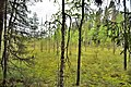 Swampy forest of Valdai.jpg