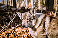 Swedish Vallhund December 2012 013.JPG