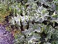 Sylibum marianum leavesCampodeCalatrava.jpg
