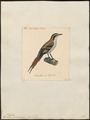 Synallaxis spinicauda - 1825-1839 - Print - Iconographia Zoologica - Special Collections University of Amsterdam - UBA01 IZ19200159.tif