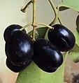 Syzygium cumini 05.JPG