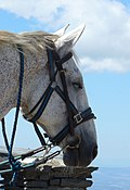 Tête de cheval au sommet du mont Mézenc, 1753 m.jpg