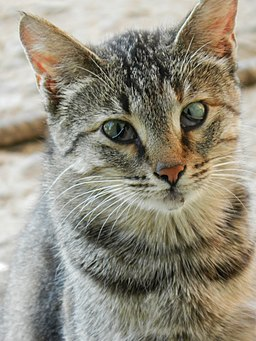 Tabby cat with visible nictitating membrane