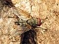 Tachinid Fly (29649675071).jpg