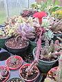 Tall red succulent (Senecio stapeliiformis) (4578479500).jpg