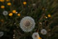 Taraxacum dandelion seed head in grass (41977925894).jpg