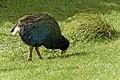 Tasty tasty grass (34755568185).jpg