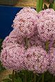 Tatton Park Flower Show 2014 033.jpg