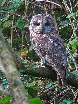 Tawny Owl (4003694892).jpg