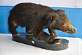 Taxidermied Baby Bear - Palta - North 24 Parganas 2012-04-11 9571.JPG