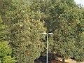 Teils gelbes Laub nach Trockenheit Juni, Juli und August 2018, Winterlinden in Marburg im Ludwig-Schüler-Park, 2018-08-14.jpg
