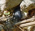 Tenebrionidae - Flickr - gailhampshire.jpg