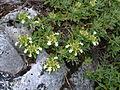 Teucrium montanum flowers3.JPG
