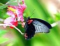 Thailand South Koh Phi Phi Island Papilio Memnon Agenor male (8705274860).jpg