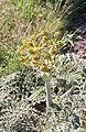 Thapsia villosa début floraison.jpg