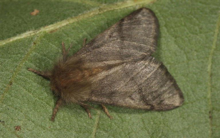 Imago, de volwassen vlinder