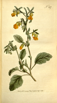 The Botanical Magazine, Plate 307 (Volume 9, 1795).png