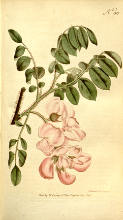 The Botanical Magazine, Plate 311 (Volume 9, 1795).png
