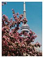 The CN Tower peeping from Cherry Blossoms, Toronto - Canada.jpg