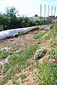 The Flower Fields at Carlsbad Ranch 28 2014-04-28.jpg