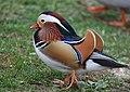 The Mandarin Duck of St. Ferdinand Park (45717502502).jpg