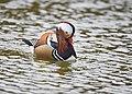 The Mandarin Duck of St. Ferdinand Park (45717510822).jpg