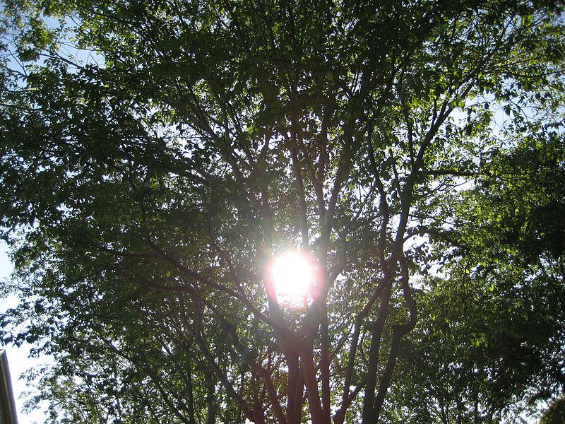 File:The Trees and Sun.JPG
