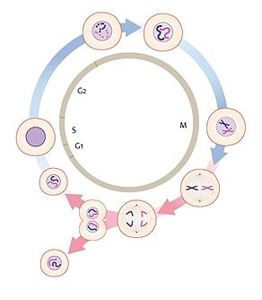 The cell cycle (13083554653).jpg