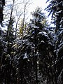 The winter forest. The firetrees. November 2013 (2). - Зимний лес. Ёлки. Ноябрь 2013 (2). - panoramio.jpg