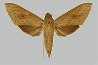Theretra tryoni, female, upperside. Indonesia, Little Kei.jpg