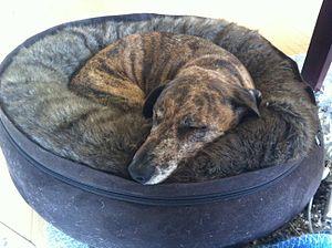 Comfort - A comfortable dog