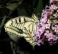 Thomas Bresson - Machaon-23 (by).jpg
