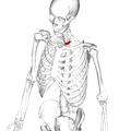 Thoracic vertebra 3 anterior.png