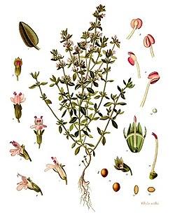 Thymus vulgaris - Köhler–s Medizinal-Pflanzen-271.jpg