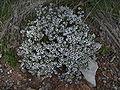 Thymus vulgaris 1 de maig de 2009.jpg
