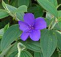 Tibouchina urvilleana, the Glory Bush (9976347004).jpg