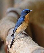 Tickell's Blue Flycatcher (Cyornis tickelliae)