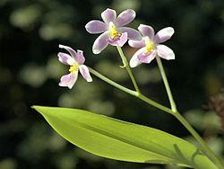 Ticoglossum krameri Orchi 01.jpg