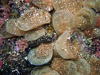 Isognomon - Live Isognomon sp. under a rock in Kona District, Hawaii