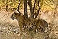 Tiger Panthera tigris (2155277563).jpg