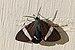 Tiger moth (Hypocrita drucei) 2.jpg