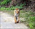 Tigress called Sharmili @ JC.jpg
