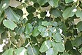 Tilia platyphyllos - Krpunolisna lipa (2).jpg
