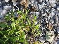 Tillaea aquatica sl7.jpg